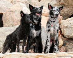 These are some crazy-looking dogs! Hungarian Mudi on the rocks.