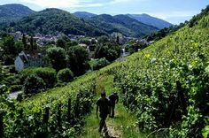 Jefford on Monday: The ultimate terroir wine - Decanter