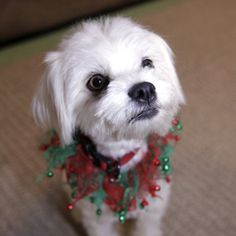 Willow is an adoptable Maltese Dog in Malibu, CA. Willow is a 12 lb Lhatese (Lhasa Apso/Maltese) approximately 2 yrs old. She is spayed and vaccinated. Willow is quiet, friendly, and occasionally shy ...