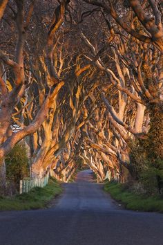 The Dark Hedges ~300 yr.old Beech trees line the Breagah Road in Northern Ireland