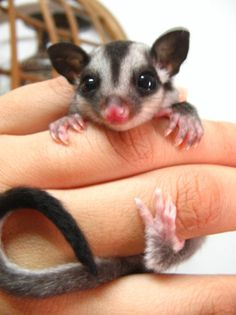 can't wait til I can get one, they are so cute but require alot of attention