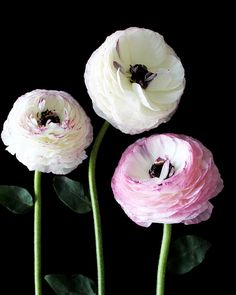 Three Ranunculus by gabyburger