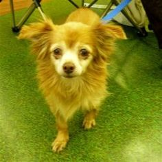 Goldie is an adoptable Chihuahua Dog in St. Augustine, FL. Goldie is a small adorable little longhaired Chihuahua who needs a quiet and stable home with love and tlc....