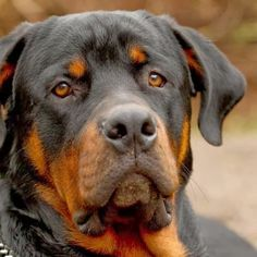 #Rottweiler is among the 5 Most Expensive Dog Breeds, click the pic for full list :)