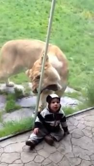 Important safety message. Please, do not dress your baby as a zebra when you go to visit lions.