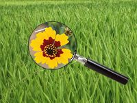 Texas wildflower search and identify. Dont know what kind of glowers are growing around your home... find out here!!!