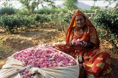 Rose harvesting in Rajasthan - India