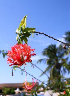 flor de cayena. DFC