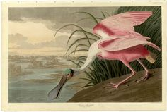 John James Audubon (ornithologist, naturalist and painter French)