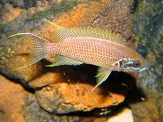 Neolamprologus brichardi  kiku  Tropical Fish Aquarium d8a40a2f006