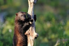 """The """"wolverine might be listed as threatened due to climate change. After a lawsuit put forth by theCenter for Biological Diversity and Defenders of Wildlife, the US Fish and Wildlife Service has made the recommendation that wolverines should be listed as threatened.""""   #endangered #species"""