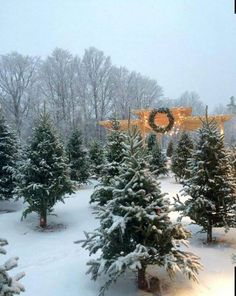 a fabulous selection of holiday trees at spring ledge farm