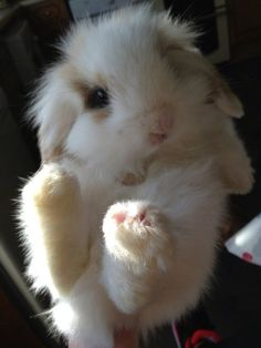 I would love this cute little bunny because its so fluffy and adorable Cute Baby Bunnies, Funny Bunnies, Cute Baby Animals, Animals And Pets, Funny Animals, Cutest Bunnies, Big Bunny, Tier Fotos, Hamsters