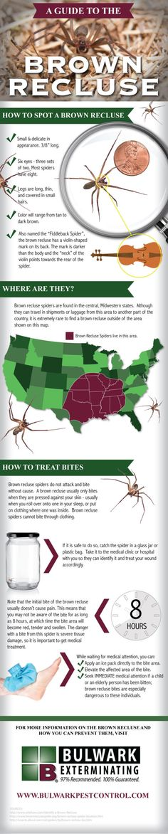 """A Guide to the Brown Recluse Spider - they also """"travel"""" and have been seen as far north as N. Survival Tips, Survival Skills, Things To Know, How To Know, Brown Recluse Spider, Spiders And Snakes, Wolf Spider, Pest Control, Bug Control"""