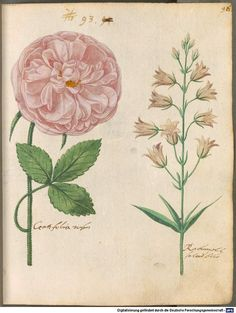 31 ( - Digitised Book from the copyright-free holdings of the Bavarian State Library Munich [Germany] Image-based Similarity Search Vintage Botanical Prints, Botanical Drawings, Botanical Art, Botany Illustration, Vintage Illustration Art, Picture Icon, Base Image, Vintage Images, Flower Art
