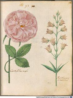 Hortulus Monheimensis - BSB Cod.icon. 31, [S.l.] Süddeutschland, 1615