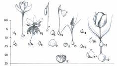 Při výsadbě cibulovin přitom dodržujeme základní pravidlo – vysazujeme je ve skupinách, abychom vytvořili působivé jarní partie, vnichž