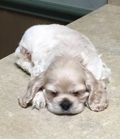 """Determine additional information on """"cocker spaniel puppies"""". Check out our site. Perro Cocker Spaniel, Black Cocker Spaniel, American Cocker Spaniel, Spaniel Puppies For Sale, Baby Puppies, Cute Puppies, Dogs And Puppies, Pet Dogs, Dog Cat"""