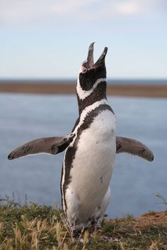 http://www.photovolcanica.com/PenguinSpecies/Magellanic/Ant06_9410.jpg