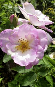 ピンクの薔薇。A pink rose.