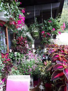 Die Pinke Ecke auf meinem Balkon im September 2017. Sie blüht und wuchert immer noch.... Pink, September, Plants, Balcony, Deco, Plant, Pink Hair, Roses, Planets