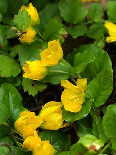 Creeping jenny, a ground cover perennial flower, high, needs to be contained- like ivy it will take over, can grow anywhere.that makes it my kind of plant! Ivy Plants, Shade Plants, Garden Plants, Outdoor Flowers, Outdoor Plants, Outdoor Gardens, Shade Perennials, Flowers Perennials, Unique Flowers