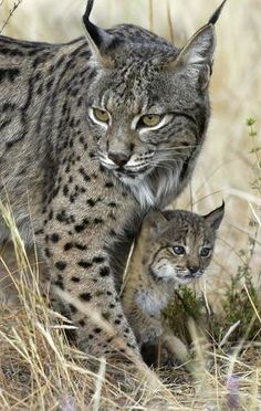 Lynx Mother and Kitten. Iberian lynx is one of the most endangered animals on earth Animals And Pets, Baby Animals, Cute Animals, Wild Animals, Beautiful Cats, Animals Beautiful, Simply Beautiful, Big Cats, Cats And Kittens