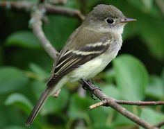 Least Flycatcher (Empidonax minimus) Canada and northern United States