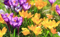 Download wallpapers Crocuses, spring flowers, wildflowers, yellow crocuses, floral background
