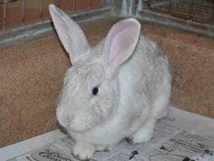 OPHELIA is an adoptable Bunny Rabbit Rabbit in Martinez, CA.  ...