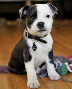 Pitbull so cute!!!