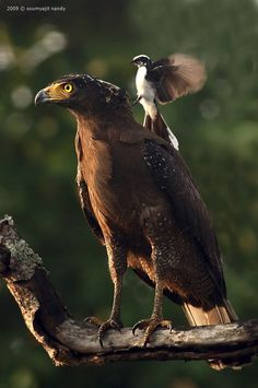 Crested Serpent Eagle getting attacked by a White-browed Fantail