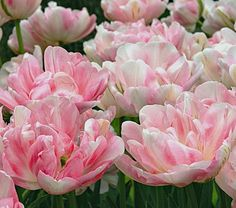 Finola Double Tulip (Possibility for Back Snake)