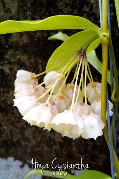 Hoya cysiantha