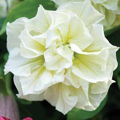 Petunia 'Susanna' - Annual Plants - Thompson & Morgan