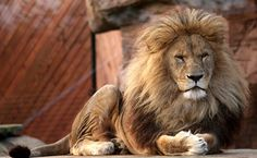 Lion - Colchester Zoo - Colchester, Essex, England