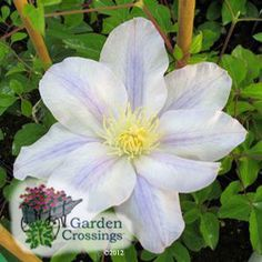 I love how this Clematis has a very mysterious pale blue stripe that runs through the white. Ice Blue™ Clematis 'Evipo 003'