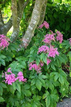 Shade Plant Rogersia
