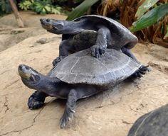 Turteln wie die Schildkröten !!! Turtle, Animals, Animales, Tortoise, Animaux, Tortoise Turtle, Turtles, Animal, Animais