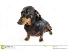 Dachshund - sausage dog 1 stock photo. Image of brown - 5042590