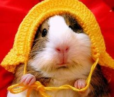 Are guinea pigs endangered? (Not in USA) WIKIPEDIA states that guinea pigs are eaten in South America- so perhaps they are endangered in South America.  Personally I would not want to eat a guinea pig!