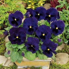 Pansy Swiss Giant Ullswater Flower Seeds (Viola Wittrockiana) 50+Seeds - Under The Sun Seeds  - 3
