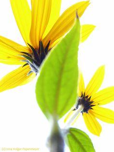 yellow flower  gelbe Blume