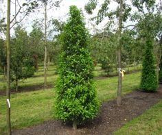 2x Prunus lusitanica 'Angustifolia' Het wordt een grote struik of een kleine boom, maar is ook geschikt als haagplant. Het blad is langwerpig eivormig, leerachtig, toegespitst, met gegolfde en gezaagde rand. In juni verschijnen de witte bloemen in tot 25 cm lange, overhangende trossen. De kegelvormige 'kersen' zijn purperkleurig. Deze fraaie lauriersoort verdraagt een normale winter goed, eventuele vorstschade herstelt zich dan in het voorjaar. De Portugese laurier is gevoelig voor…