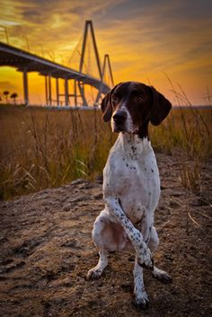 Booker, a German shorthaired pointer from Charleston, South Carolina.