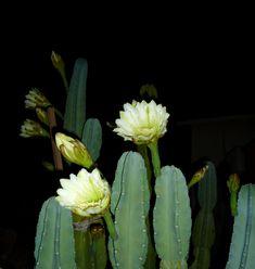 Cereus hildmannianus in flower at night.