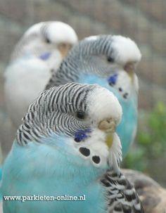 www.parkieten-online.nl budgies parakeets parkieten