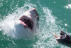 We have some amazing pictures and trips to South Africa on our new website www.sharktours.co.za  Sharks, Sharks, Sharks, Sharks #sharks  1 Day Great White Shark Adventure