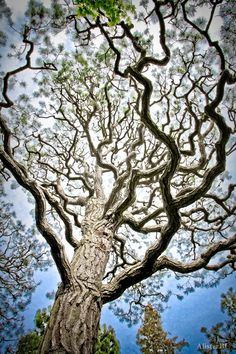 Nice perspective tree ~ Zigzag ~ by Alister C. Weird Trees, Magical Tree, Unique Trees, Old Trees, Nature Tree, Tree Forest, Tree Tops, Tree Of Life, Trees To Plant