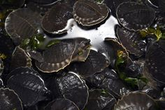 Pig-nosed turtles confiscated from a cargo package that was shipped from Papua province are displayed inside a bucket during a press conference at the quarantine facility of Soekarno-Hatta airport on the outskirts of Jakarta, Indonesia. Indonesian authorities confiscated 687 endangered pig-nosed turtles believed to be part illegal pet trade